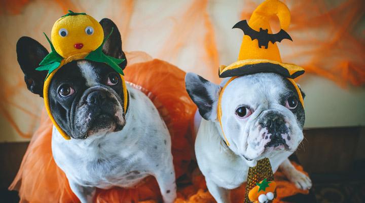 Halloween costumed dogs