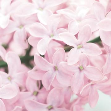 Regular spring lilac 2 720x400